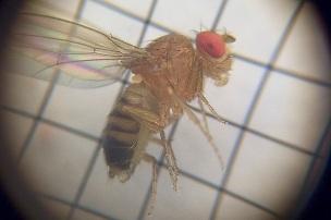 Drosophila melanogaster